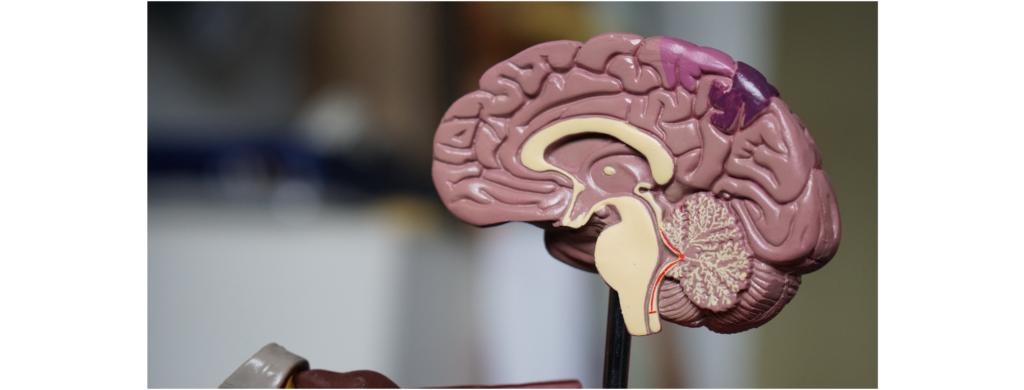 Model of a brain.